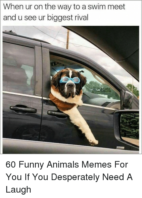 Animals, Funny, and Funny Animals: When ur on the way to a swim meet  and u see ur biggest rival 60 Funny Animals Memes For You If You Desperately Need A Laugh