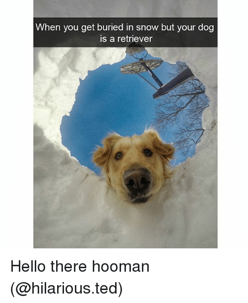 Funny, Hello, and Ted: When you get buried in snow but your dog  is a retriever Hello there hooman (@hilarious.ted)
