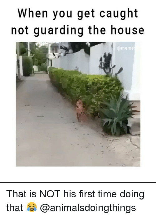 Meme, Memes, and House: When you get caught  not guarding the house  @meme That is NOT his first time doing that 😂 @animalsdoingthings