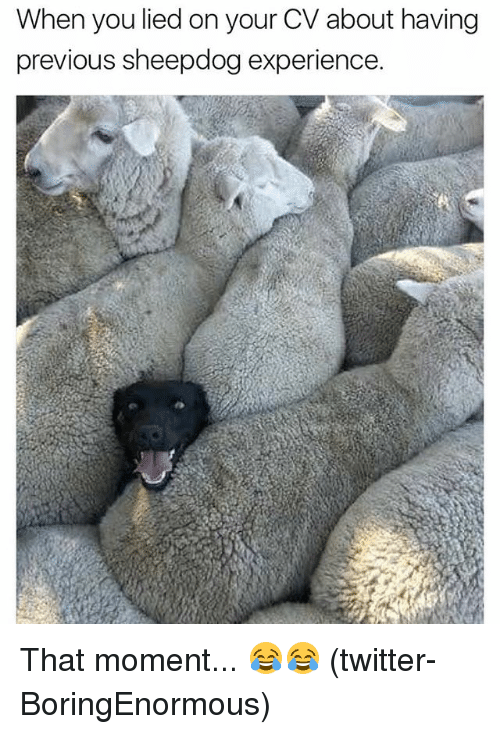 Memes, Twitter, and Experience: When you lied on your CV about having  previous sheepdog experience. That moment... 😂😂 (twitter-BoringEnormous)