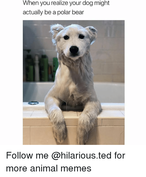 Funny, Memes, and Ted: When you realize your dog might  actually be a polar bear Follow me @hilarious.ted for more animal memes