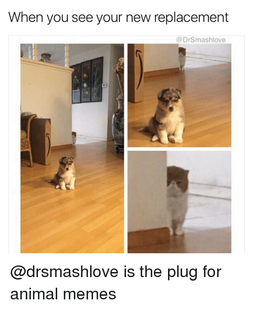 Funny, Girl Memes, and Plug: When you see your new replacement  @DrSmass hlove @drsmashlove is the plug for animal memes