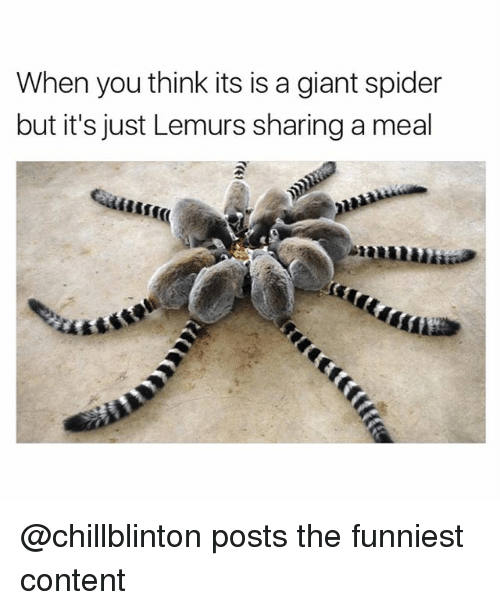 Funny, Spider, and Giant: When you think its is a giant spider  but it's just Lemurs sharing a meal  sst @chillblinton posts the funniest content