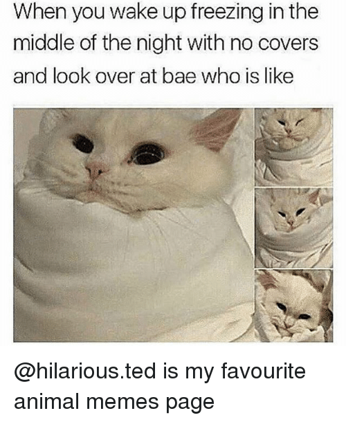 Bae, Memes, and Ted: When you wake up freezing in the  middle of the night with no covers  and look over at bae who is like @hilarious.ted is my favourite animal memes page