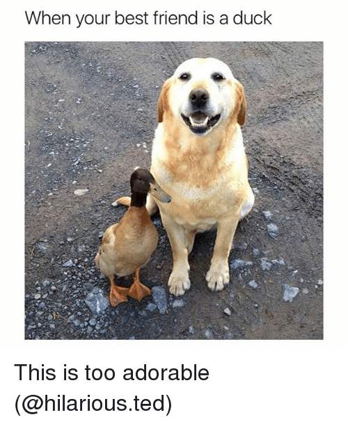 Best Friend, Funny, and Ted: When your best friend is a duck This is too adorable (@hilarious.ted)