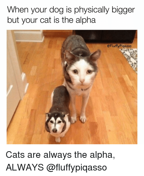 Memes, Physical, and Physics: When your dog is physically bigger  but your cat is the alpha  eFluffy Piqasso Cats are always the alpha, ALWAYS @fluffypiqasso