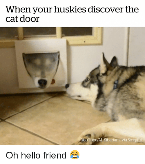 Hello, Discover, and Cat: When your huskles discover the  cat door  ouTube/AL Siberians via Storyful Oh hello friend 😂