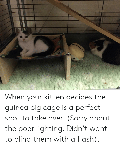 Sorry, Guinea Pig, and Flash: When your kitten decides the guinea pig cage is a perfect spot to take over. (Sorry about the poor lighting. Didn't want to blind them with a flash).