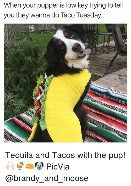 Funny, Low Key, and Tequila: When your pupper is low key trying to tell  you they wanna do Taco Tuesday. Tequila and Tacos with the pup!🙌🏻🍹🌮🐶 PicVia @brandy_and_moose