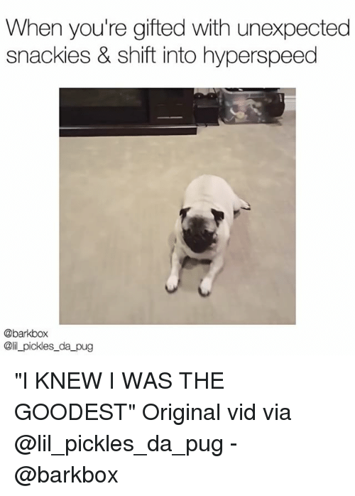 """Memes, Pugs, and 🤖: When you're gifted with unexpected  snackies & shift into hyperspeed  @barkbox  @il_pickles_da pug """"I KNEW I WAS THE GOODEST"""" Original vid via @lil_pickles_da_pug - @barkbox"""