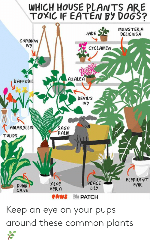 WHICH HOUSE PLANTS ARE TOXIC IF EATEN BY DOGS? ADE MONSTERA ... on