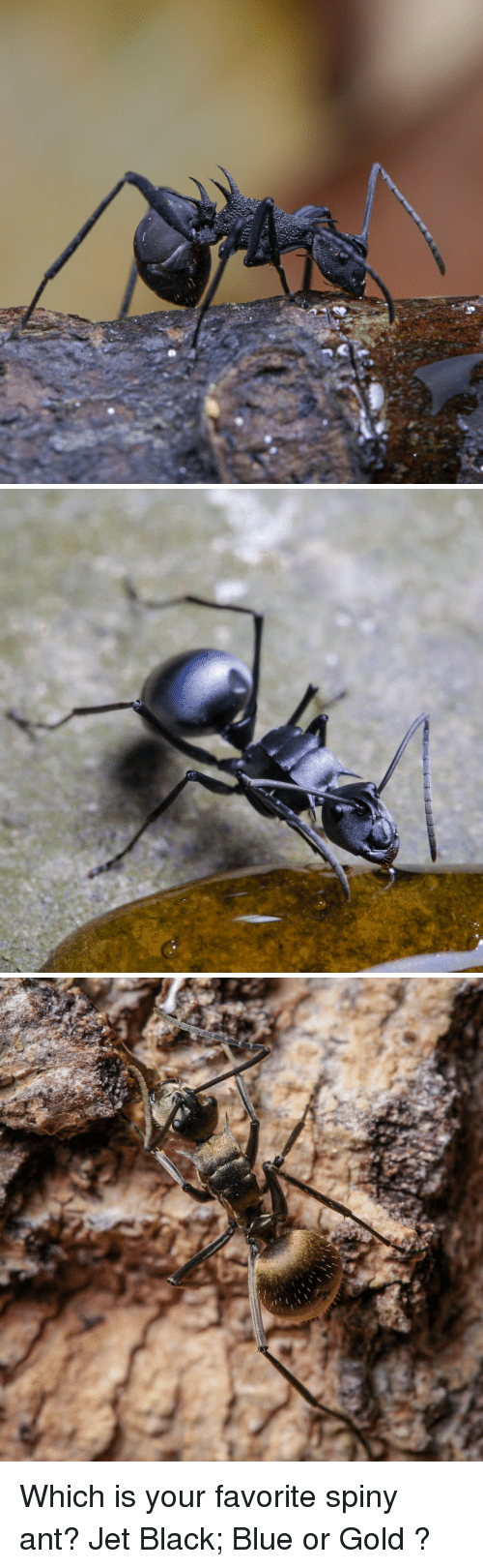 Black, Blue, and Gold: Which is your favorite spiny ant? Jet Black; Blue or Gold ?