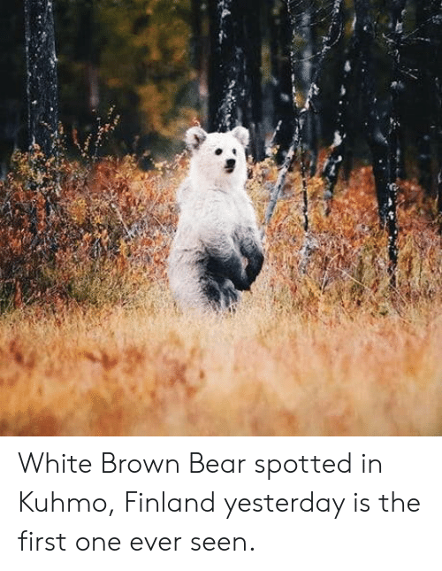 Bear, White, and Finland: White Brown Bear spotted in Kuhmo, Finland yesterday is the first one ever seen.
