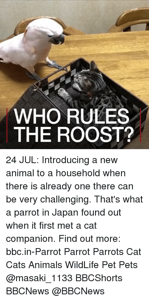 Animals, Cats, and Memes: WHO RULES  THE ROOST? 24 JUL: Introducing a new animal to a household when there is already one there can be very challenging. That's what a parrot in Japan found out when it first met a cat companion. Find out more: bbc.in-Parrot Parrot Parrots Cat Cats Animals WildLife Pet Pets @masaki_1133 BBCShorts BBCNews @BBCNews