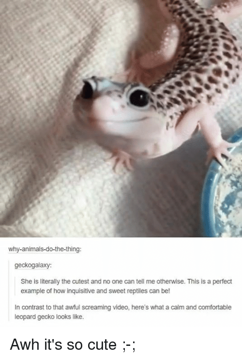 why animals do the thing geckogalaxy she is literally the cutest and no one 16777285 25 best leopard gecko memes example of memes, do the thing memes