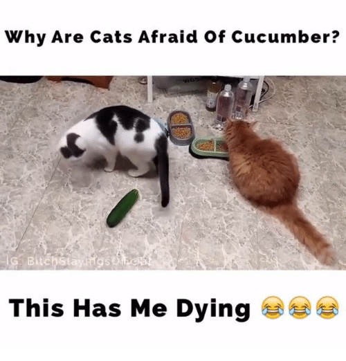 why are cats afraid of cucumber this has me dying meme on
