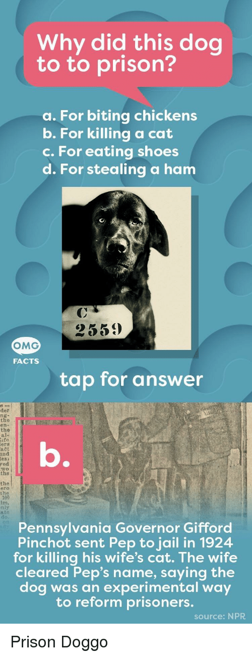 Facts, Jail, and Omg: Why did this dog  to to prison?  a. For biting chickens  b. For killing a cat  c. For eating shoes  d. For stealing a ham  2559  OMG  FACTS  tap for answer  der  ng-  the  en-  the  al-  ife  ers  ačt  nd  es) t  yed  wo  ths  the  ero  t h  im,  nly  ato  do.  Pennsylvania Governor Gifford  Pinchot sent Pep to jail in 1924  for killing his wife's cat. The wife  cleared Pep's name, saying the  dog was an experimental way  to reform prisoners.  source: NPR