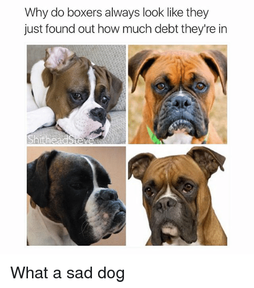 Funny Boxer Dog Meme : Why do boxers always look like they just found out how