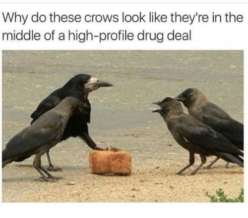 The Middle, Drug, and Crows: Why do these crows look like they're in the  middle of a high-profile drug deal