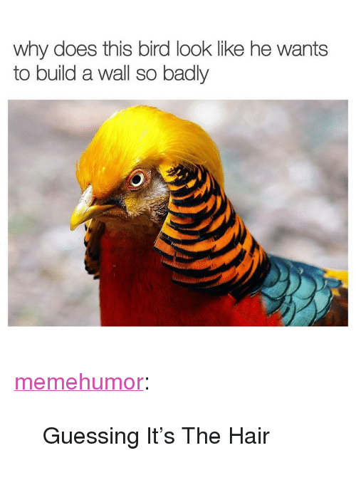 """Tumblr, Blog, and Hair: why does this bird look like he wants  to build a wall so badly <p><a href=""""http://memehumor.net/post/165380010578/guessing-its-the-hair"""" class=""""tumblr_blog"""">memehumor</a>:</p>  <blockquote><p>Guessing It's The Hair</p></blockquote>"""