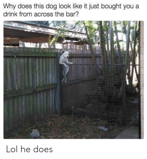 Lol, Memes, and 🤖: Why does this dog look like it just bought you a  drink from across the bar? Lol he does