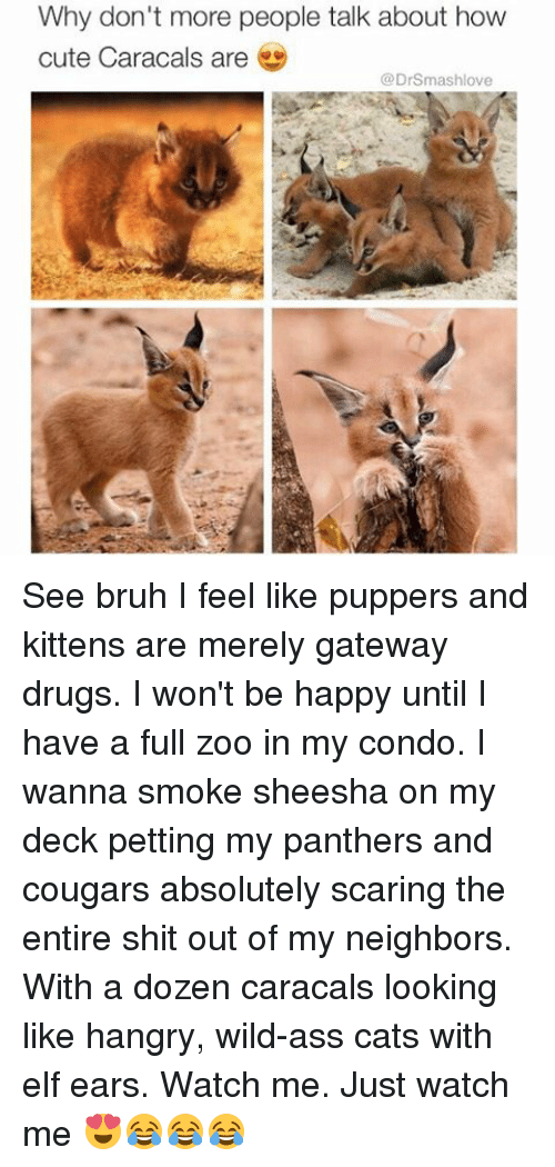 Elf, Memes, and Watch Me: Why don't more people talk about how  cute Caracals are  @Drsmashlove See bruh I feel like puppers and kittens are merely gateway drugs. I won't be happy until I have a full zoo in my condo. I wanna smoke sheesha on my deck petting my panthers and cougars absolutely scaring the entire shit out of my neighbors. With a dozen caracals looking like hangry, wild-ass cats with elf ears. Watch me. Just watch me 😍😂😂😂