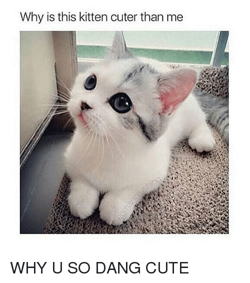 Why You So Cute Meme Why Is This Kitten Cut...