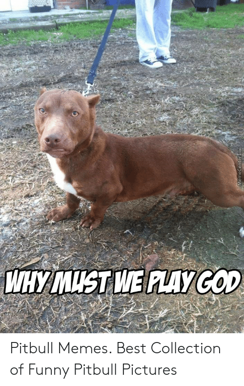 Why Must We Alaycod Memecentercom Pitbull Memes Best Collection Of