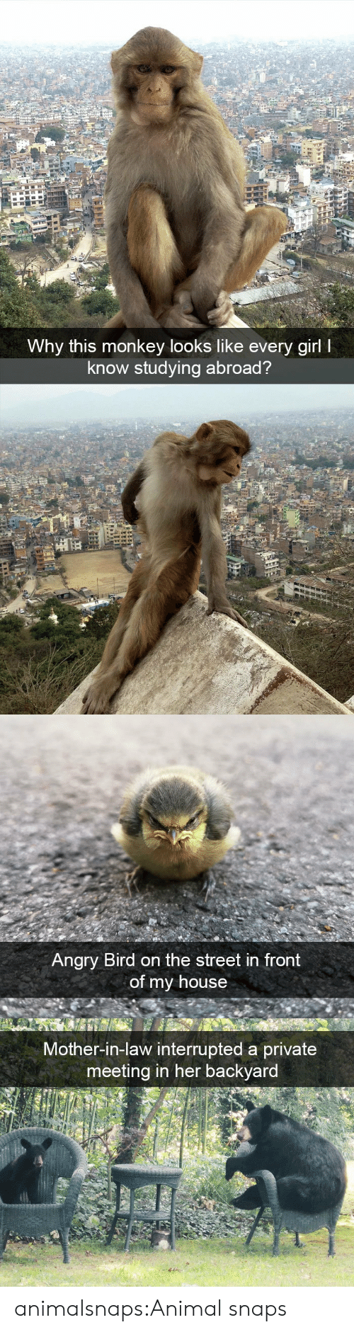 My House, Target, and Tumblr: Why this monkey looks like every girl I  know studying abroad?   Angry Bird on the street in front  of my house   Mother-in-law interrupted a private  meeting in her backyard animalsnaps:Animal snaps