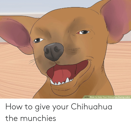 Wiki How To Help Your Chihuahua During Labor How To Give Your