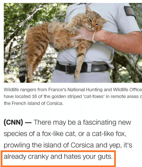 cnn.com, Hunting, and Office: Wildlife rangers from France's National Hunting and Wildlife Office  have located 16 of the golden striped 'cat-foxes' in remote areas o  the French island of Corsica.  (CNN) There may be a fascinating new  species of a fox-like cat, or a cat-like fox,  prowling the island of Corsica and yep, it's  already cranky and hates your guts.
