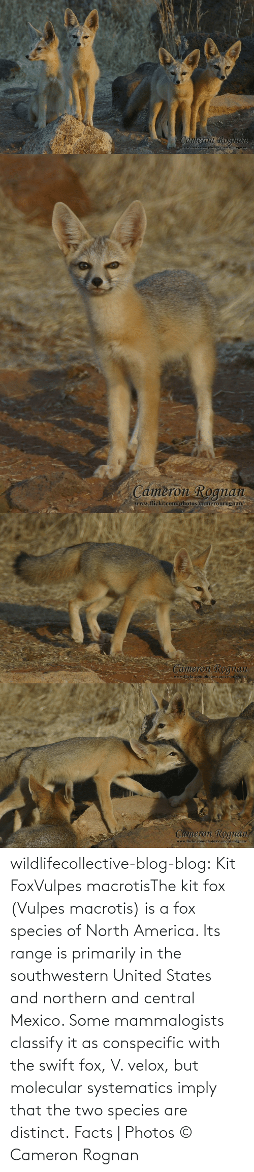 America, Facts, and Tumblr: wildlifecollective-blog-blog:  Kit FoxVulpes macrotisThe kit fox (Vulpes macrotis) is a fox species of North America. Its range is primarily in the southwestern United States and northern and central Mexico. Some mammalogists classify it as conspecific with the swift fox, V. velox, but molecular systematics imply that the two species are distinct.Facts | Photos © Cameron Rognan