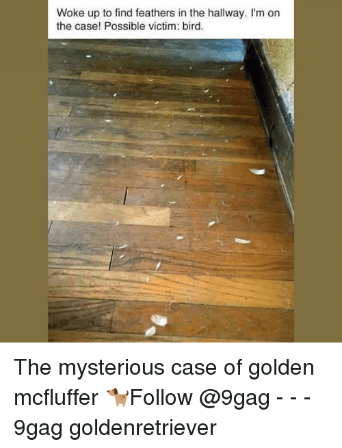 9gag, Memes, and 🤖: Woke up to find feathers in the hallway. I'm on  the case! Possible victim: bird The mysterious case of golden mcfluffer 🐕Follow @9gag - - - 9gag goldenretriever