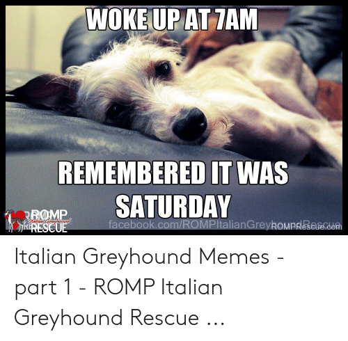 Woke Upat Tam Remembered It Was Italian Greyhound Memes Part 1