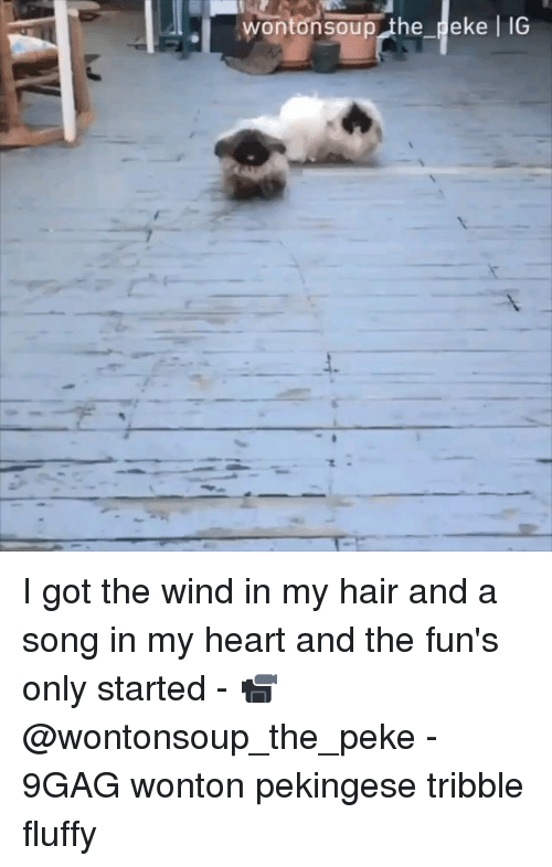 9gag, Memes, and Hair: wontonsoup the peke l IG I got the wind in my hair and a song in my heart and the fun's only started - 📹 @wontonsoup_the_peke - 9GAG wonton pekingese tribble fluffy