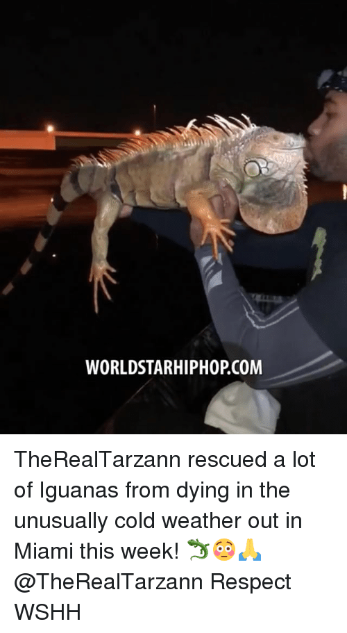 Memes, Respect, and Worldstarhiphop: WORLDSTARHIPHOP.COM TheRealTarzann rescued a lot of Iguanas from dying in the unusually cold weather out in Miami this week! 🦎😳🙏 @TheRealTarzann Respect WSHH