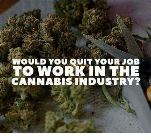 Memes, 🤖, and Job: WOULD YOU QUIT YOUR JOB  TO WORK IN THE  CANNABIS INDUSTRY?