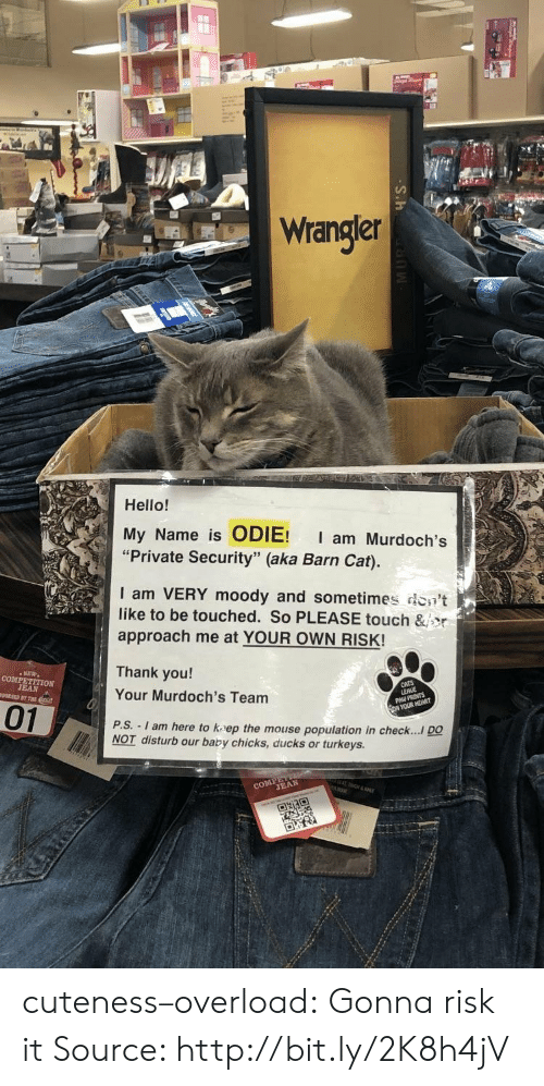 """Hello, Tumblr, and Thank You: Wrangler  Hello!  My Name is ODIE! I am Murdoch's  """"Private Security"""" (aka Barn Cat).  I am VERY moody and sometimes don't  like to be touched. So PLEASE touch &jor  approach me at YOUR OWN RISK!  Thank you!  Your Murdoch's Team  P.S.  01  - I am here to kaep the mouse population in check.... DO  NOT disturb our baby chicks, ducks or turkeys.  CO TEAN cuteness–overload:  Gonna risk it Source: http://bit.ly/2K8h4jV"""
