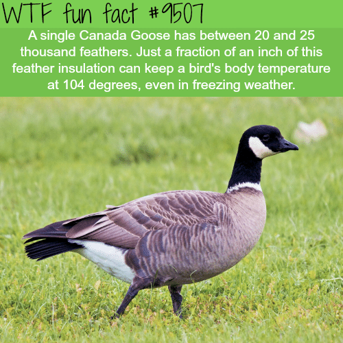 Wtf Fun Fact 1507 A Single Canada Goose Has Between 20 And 25