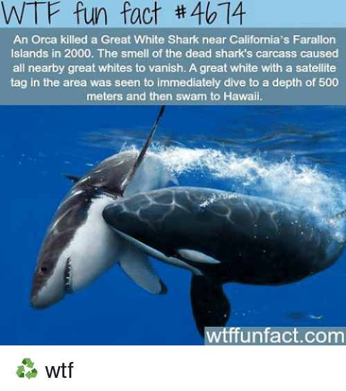 Memes, Orcas, and Shark: WTF fun fact 40 14  An Orca killed a Great White Shark near California's Farallon  Islands in 2000. The smell of the dead shark s carcass caused  all nearby great whites to vanish. A great white with a satellite  tag in the area was seen to immediately dive to a depth of 500  meters and then swam to Hawaii.  wtffunfact.com ♻ wtf