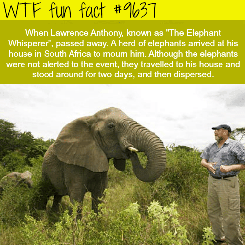 """Africa, Wtf, and Elephant: WTF fun fact  #%631  When Lawrence Anthony, known as """"The Elephant  Whisperer"""", passed away. A herd of elephants arrived at his  house in South Africa to mourn him. Although the elephants  were not alerted to the event, they travelled to his house and  stood around for two days, and then dispersed."""