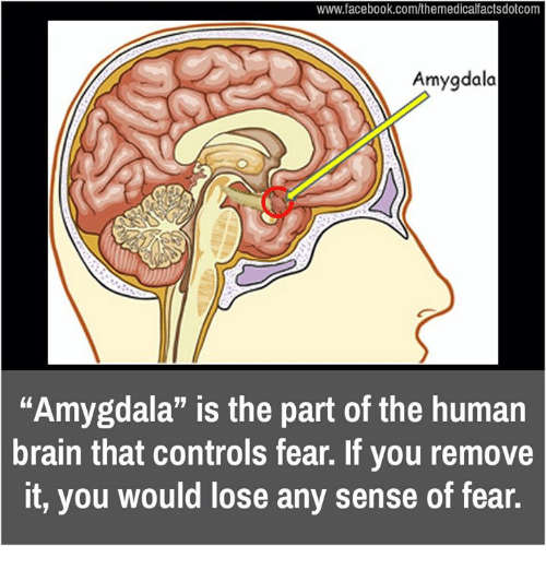 "Memes, 🤖, and Human: www.facebook.com/themedicalfactsdotcom  dala  ""Amygdala"" is the part of the human  brain that controls fear. If you remove  it, you would lose any sense of fear."