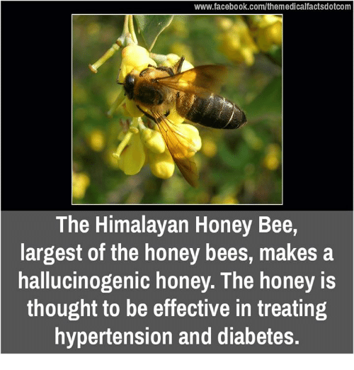 Memes, Diabetes, and Bees: www.facebook.com/themedicalfactsdotcom  The Himalayan Honey Bee,  largest of the honey bees, makes a  hallucinogenic honey. The honey  thought to be effective in treating  hypertension and diabetes.