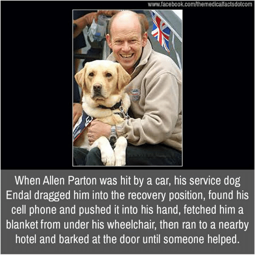 Memes, 🤖, and Cell Phone: www.facebook.com/themedicalfactsdotcom  When Allen Parton was hit by a car, his service dog  Endal dragged him into the recovery position, found his  cell phone and pushed it into his hand, fetched him a  blanket from under his wheelchair, then ran to a nearby  hotel and barked at the door until someone helped.