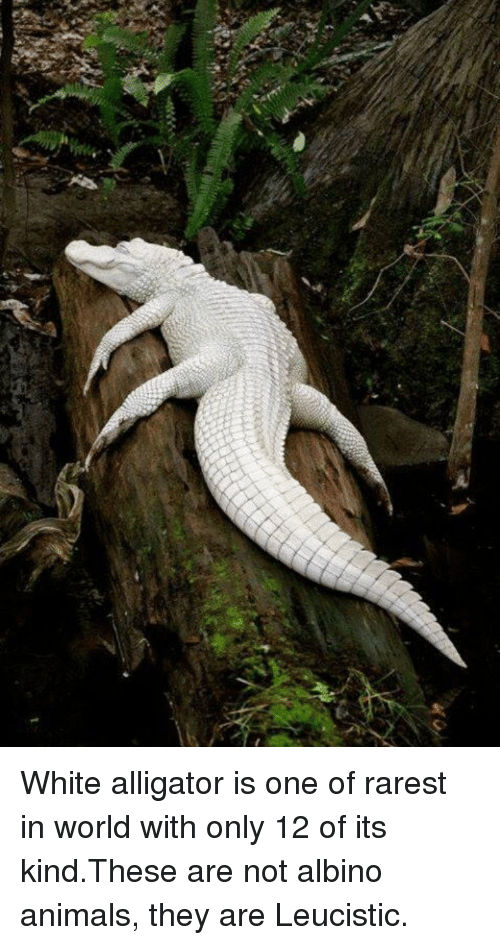 x white alligator is one of rarest in world with 8759745 x white alligator is one of rarest in world with only 12 of its