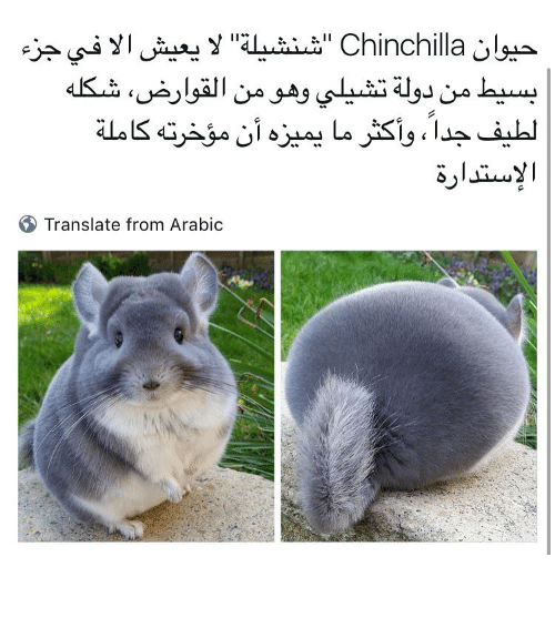 "Memes, Translate, and Translation: Y ''AL uzier"" Chinchilla  Translate from Arabic شنشيله ممكن سنابك"