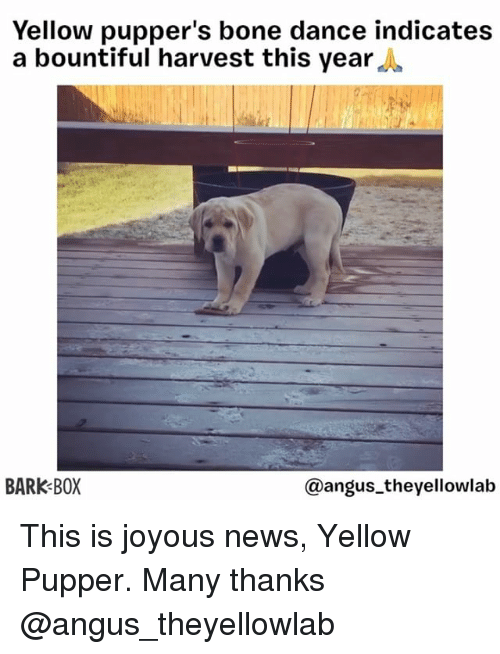 Memes, News, and Dance: Yellow pupper's bone dance indicates  a bountiful harvest this year,  BARK BOX  @angus_theyellowlab This is joyous news, Yellow Pupper. Many thanks @angus_theyellowlab