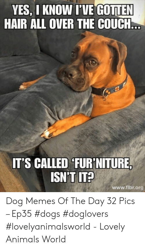 Animals, Dogs, and Memes: YES, I KNOW IVE GOTTEN  HAIR ALL OVER THE COUCH  T'S CALLED 'FUR'NITURE  ISN'T IT?  www.flbr.org Dog Memes Of The Day 32 Pics – Ep35 #dogs #doglovers #lovelyanimalsworld - Lovely Animals World