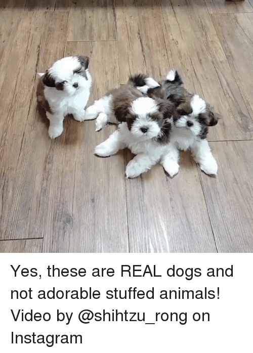 Beautiful Shih Tzu Anime Adorable Dog - yes-these-are-real-dogs-and-not-adorable-stuffed-animals-9465196  Best Photo Reference_68622  .png