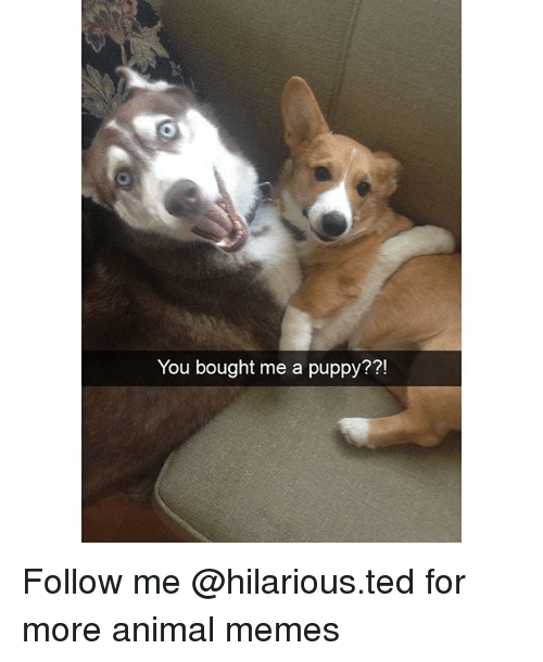 Funny, Memes, and Ted: You bought me a puppy?  71  ?! Follow me @hilarious.ted for more animal memes